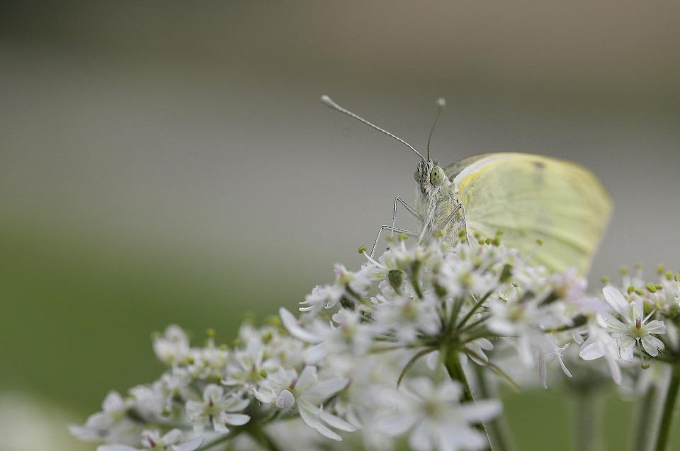 Butterfly, Insect, Nature, White, Macro