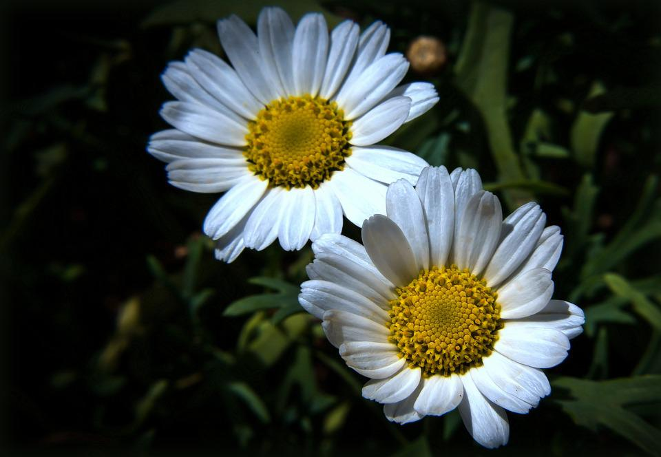Daisies, Flower, Plant, Blossom, Bloom, Nature, White
