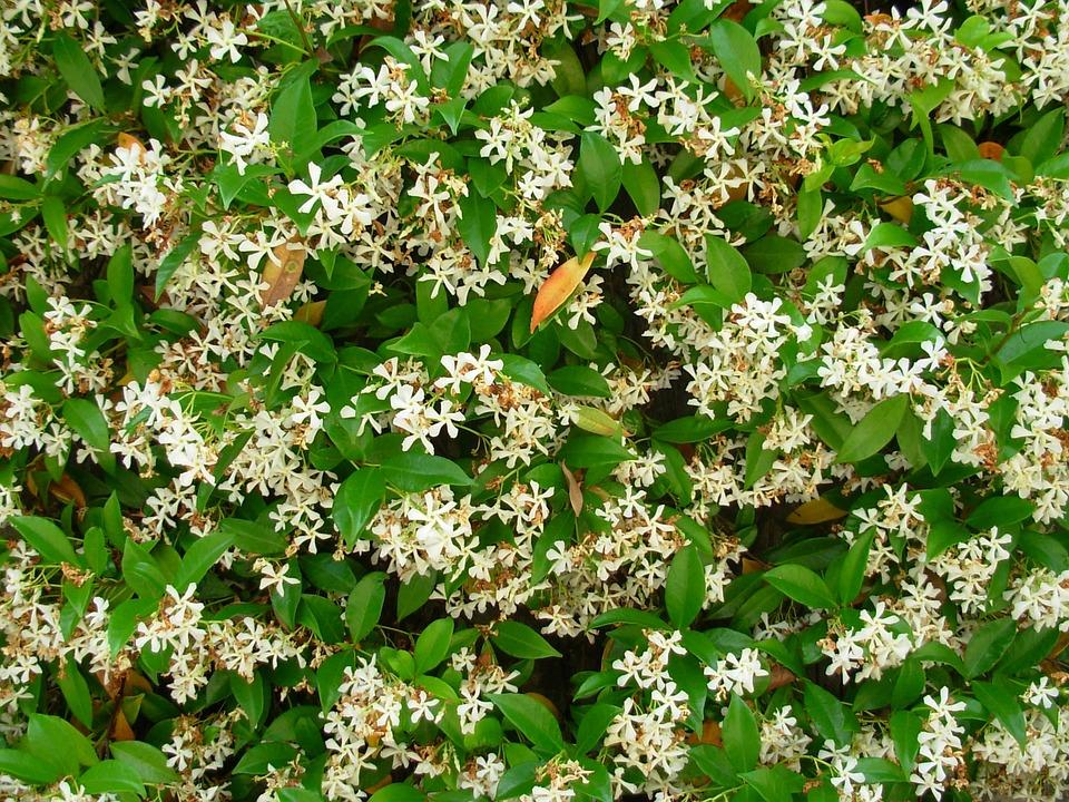 Jasmine, Flower, Nature, White, Green