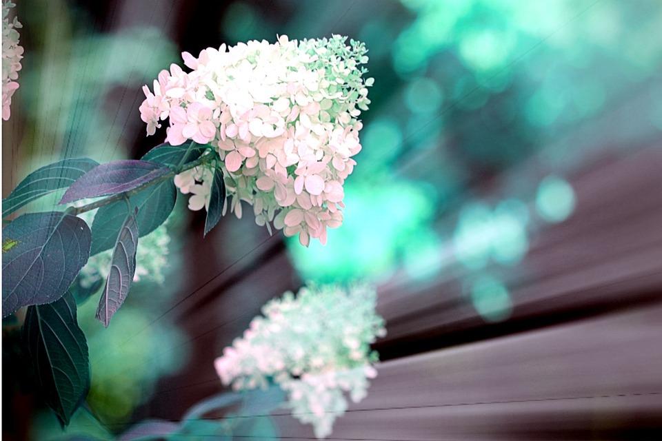 Snowball, Bush, White, Flowers, Nature, Bloom, Plant