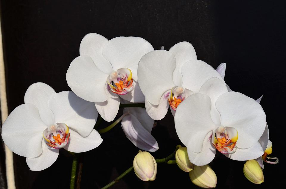 Orchid, White, Flower, Nature, Plant, Beautiful