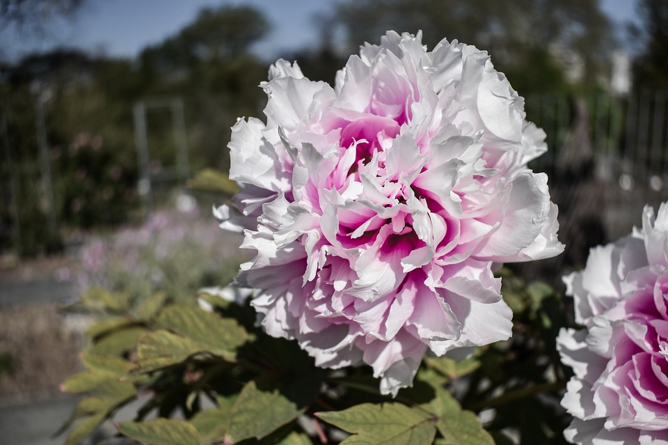 Flower, White, Purple, Spring, Nature, Botanical