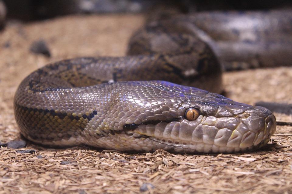 Snake, Reptile, Nature, Wildlife, Animal, Python, Wild
