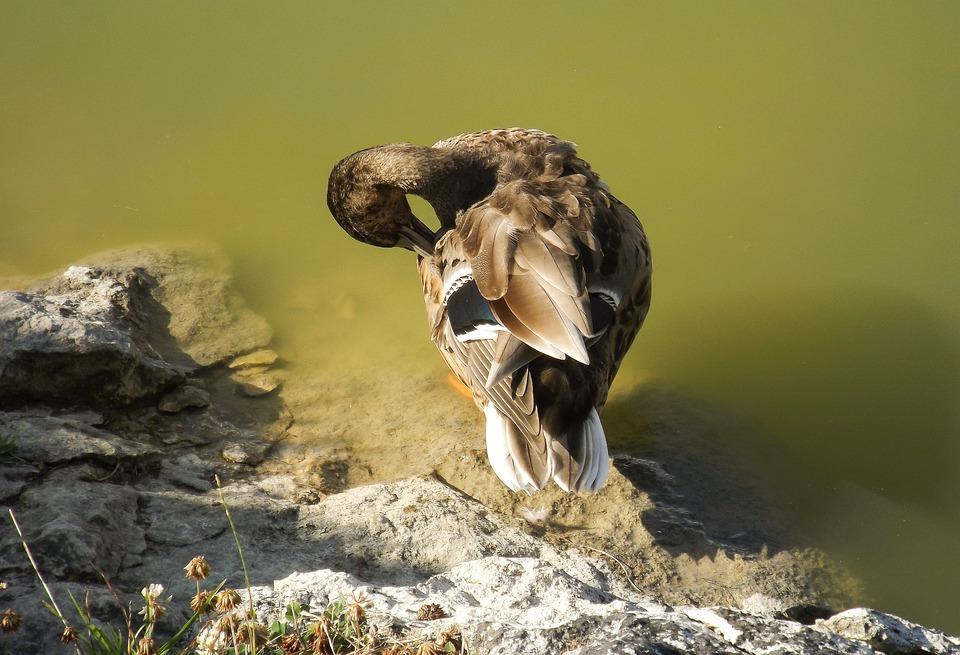 Wild Duck, Nature, Body Of Water, Roche