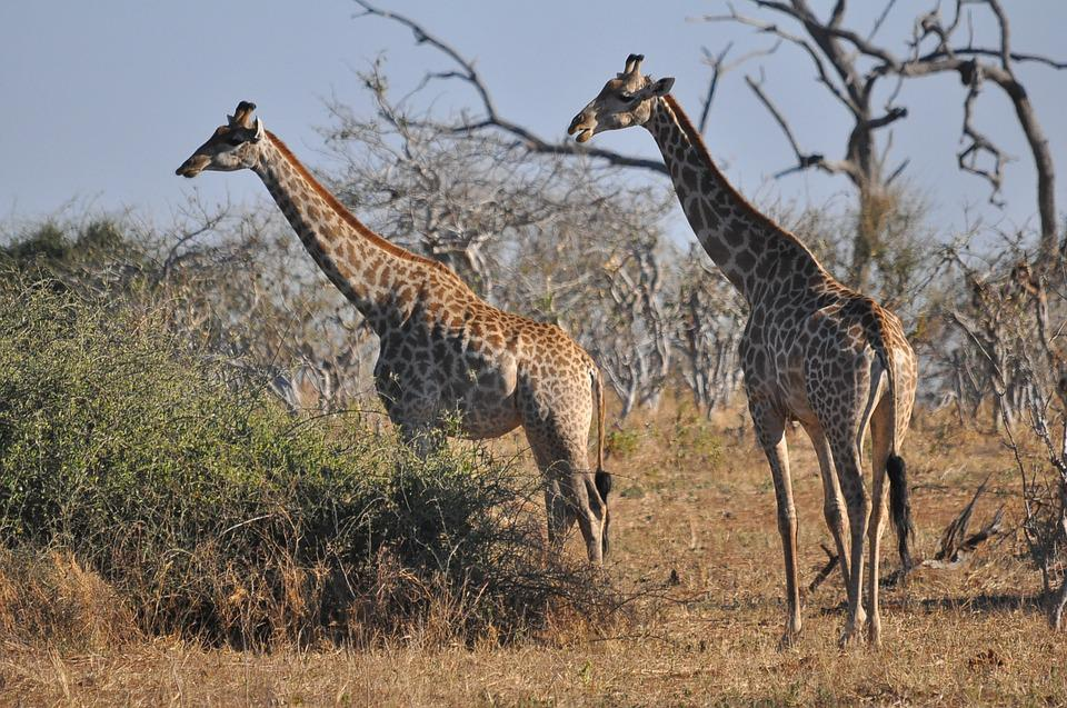 Wildlife, Nature, Safari, Animal, Wild, Giraffe, Mammal
