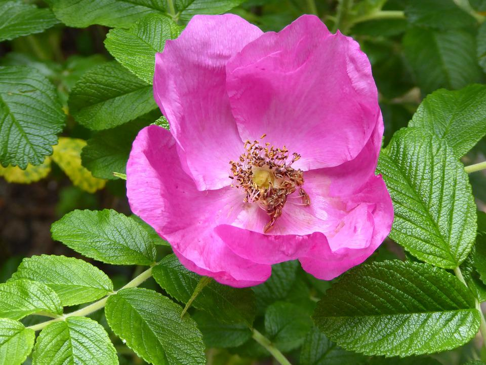 Wild Rose, Pink, Bush Rose, Beautiful, Nature, Blossom