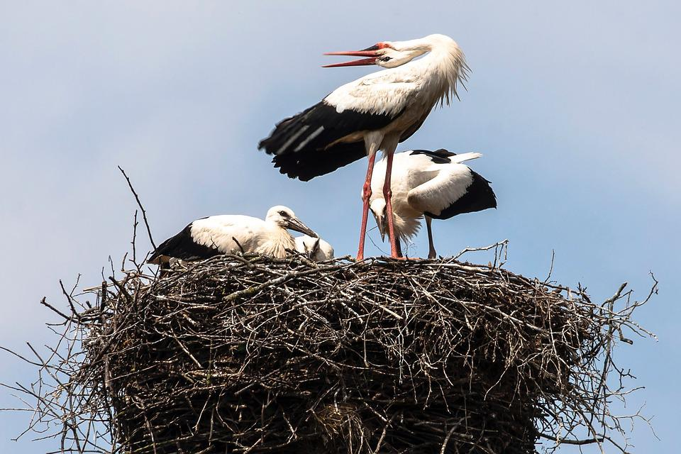 Black Storks, Wildberg, Nature, Birds