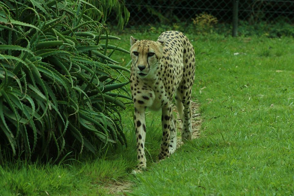Cheetah, Green, Grass, Wildlife, Animal, Nature