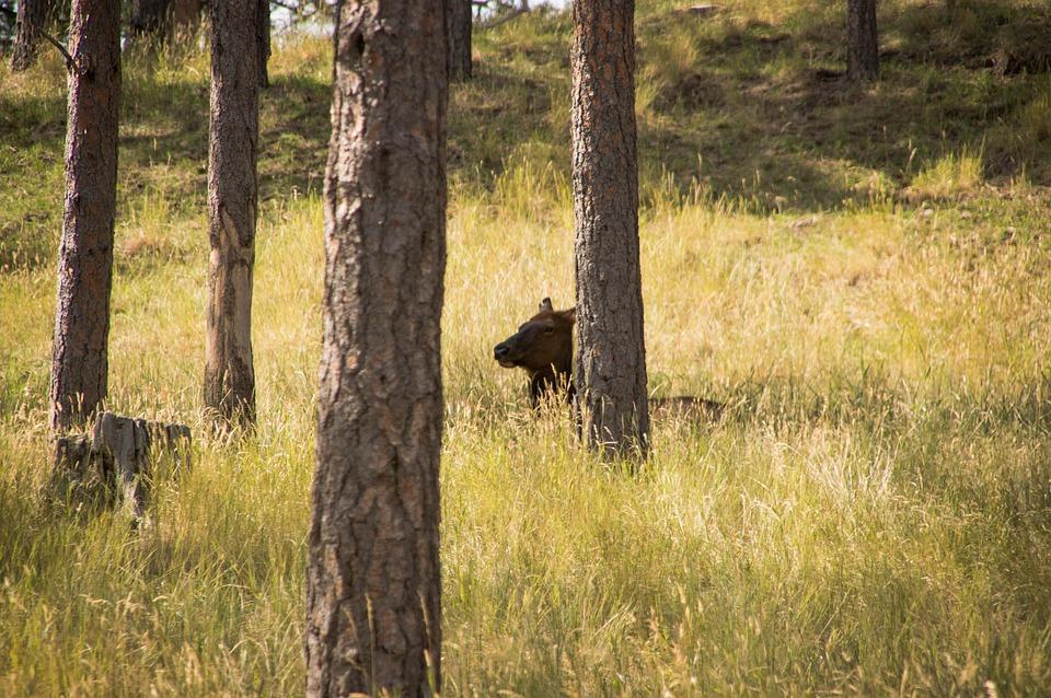 Elk, Forest, Nature, Wildlife, Animal, Deer, Wild