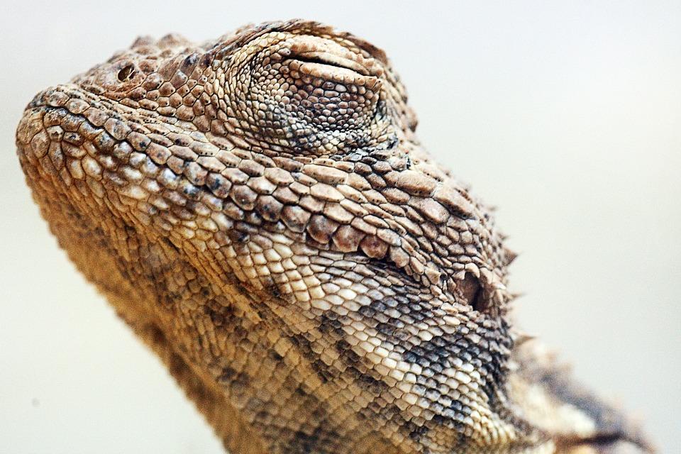 Reptile, Lizard, Animal, Nature, Wildlife