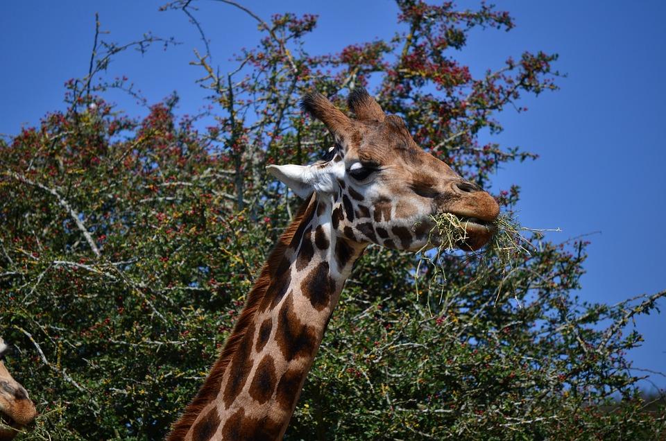 Nature, Giraffe, Wildlife, Animal, Mammal, Safari