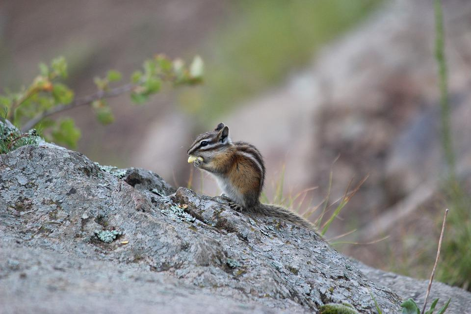 Chipmunk, Nature, Animal, Wildlife Photography, Furry