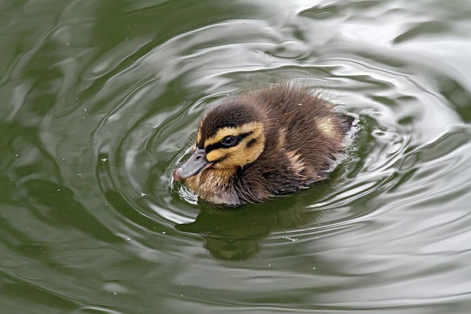 Duckling, Nature, Duck, Bird, Pool, Wildlife, Water