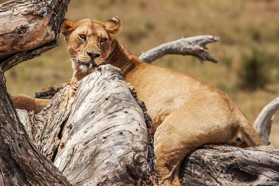 Lion, Tree, Safari, Nature, Wildlife, Tanzania