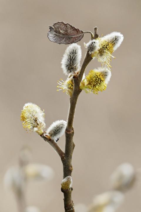 Willow Catkin, Spring, Spring Awakening, Nature