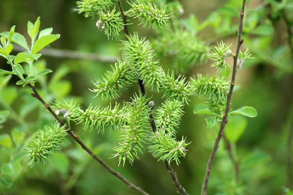 Willow, Variety, Bush, Tree, Spring, Flowering, Nature