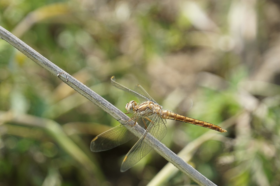 Dragonfly, Insect, Nature, Animals, Wing, Bug, Summer