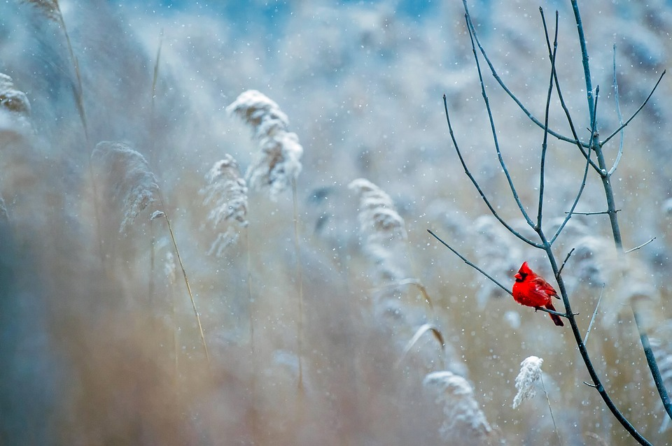 Cardinal, Bird, Wildlife, Snow, Winter, Frost, Nature