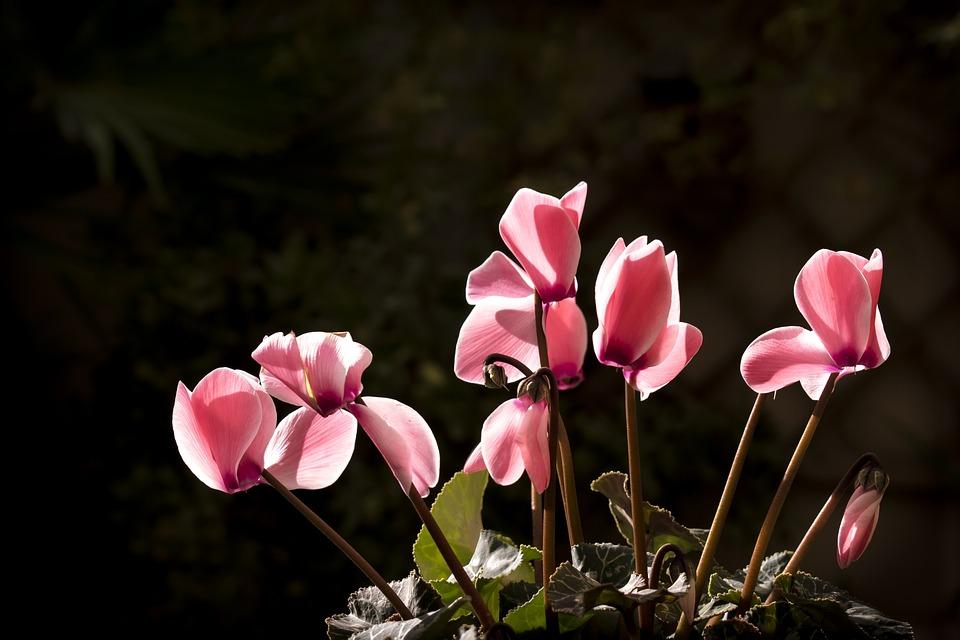 Cyclamen, Winter, Autumn, Flowers, Jadin, Rosa, Nature