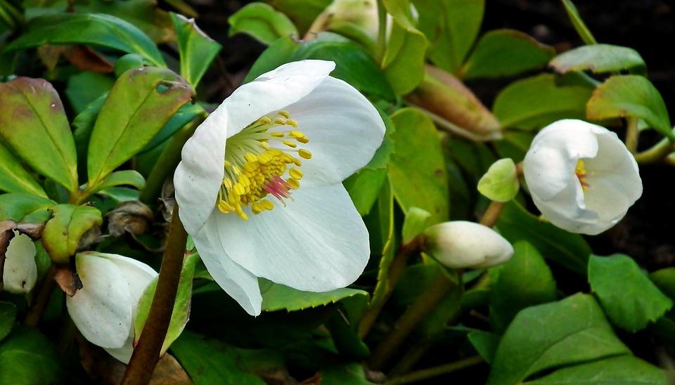 Ciemierniki, Flowers, White, Garden, Winter, Nature