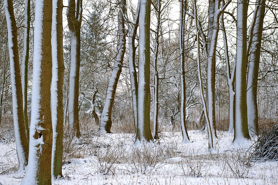 Forest, Winter, Trees, Snow, Wintry, Nature, Snowy