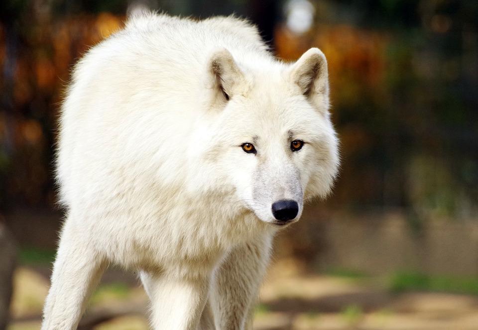 Wolf, Predator, Nature, Animal World, Wild Animal