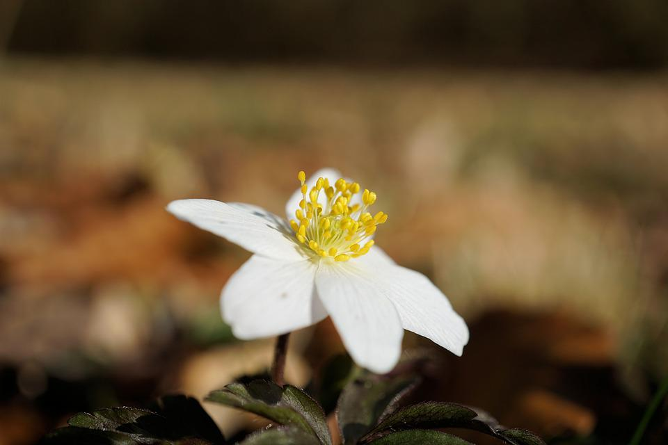 Wood Anemone, Flower, Spring, Nature, Plant, Blossom