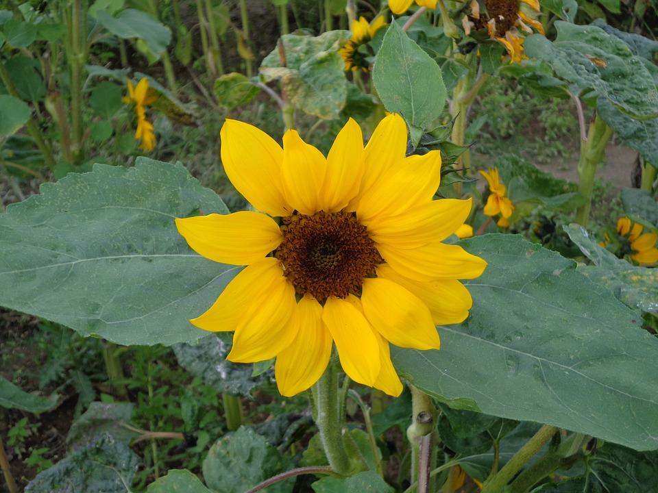 Sun Flower, Yellow, Summer, Bright, Nature, Flowers
