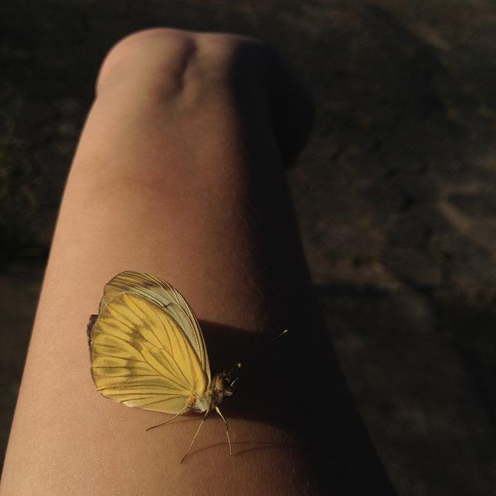Butterfly, Yellow, Nature