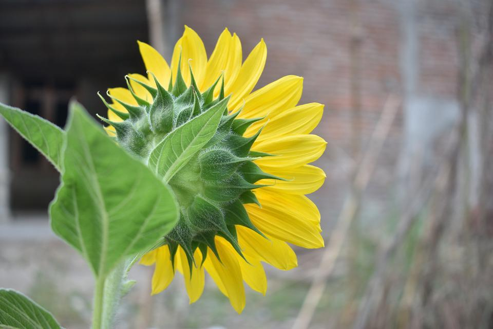 Sunflower, Blossom, Yellow, Flower, Nature, Blooming