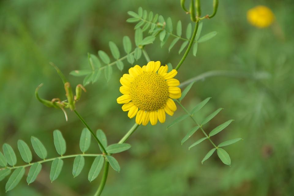 Krasnodarskiy Kray, Nature, Flowers, Yellow, Closeup