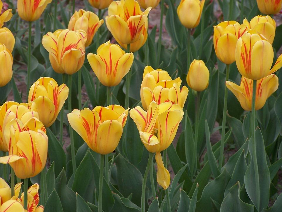 Tulip, Flower, Nature, Park, Pedals, Garden, Yellow