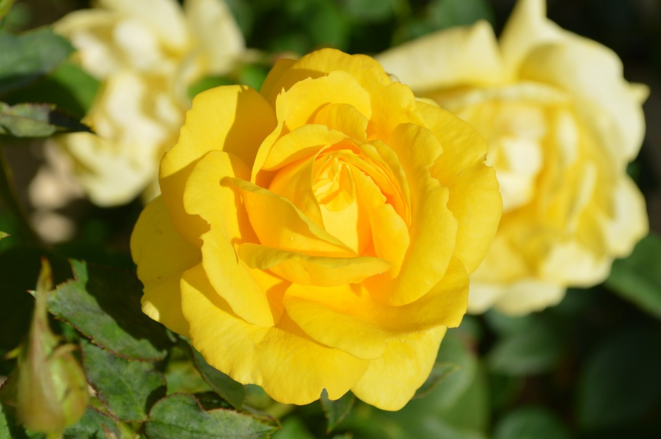 Yellow Rose, Flower, Nature