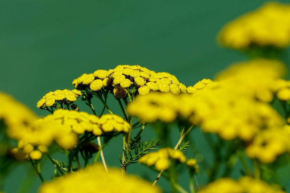 Nature, Plant, Wild Flowers, Tansy, Yellow, Blossom