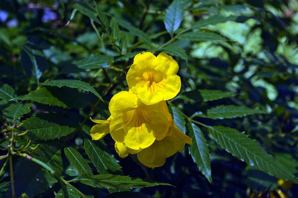 Yellow Trumpetbush, Desert, Wildflower, Yellow, Nature