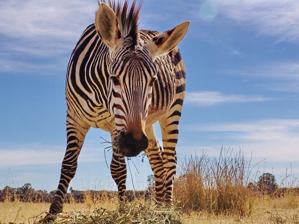 Zebra, Hartmann's, Mountain Zebra, Nature, Africa