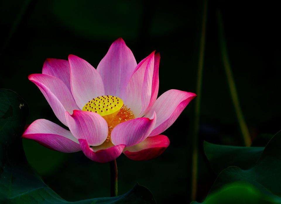 Flower, Lotus, Pink, Blossom, Nature, Zen, Floral