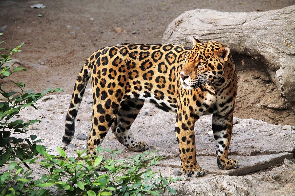 Jaguar, Animal, Zoo, Nature, Feline