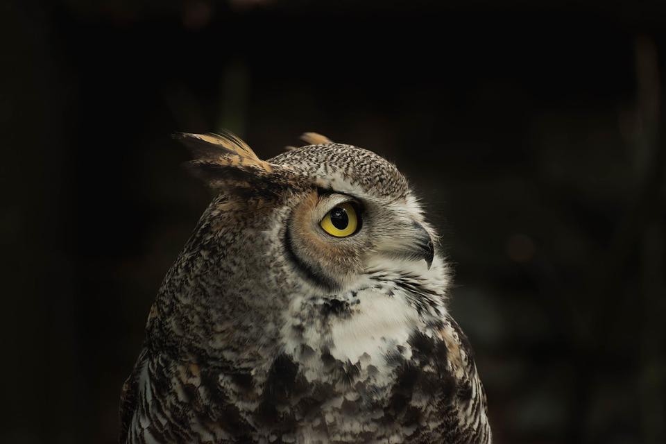 Animal, Zoo, Nature, Owl, Sabertooth Tiger, Bird, Head