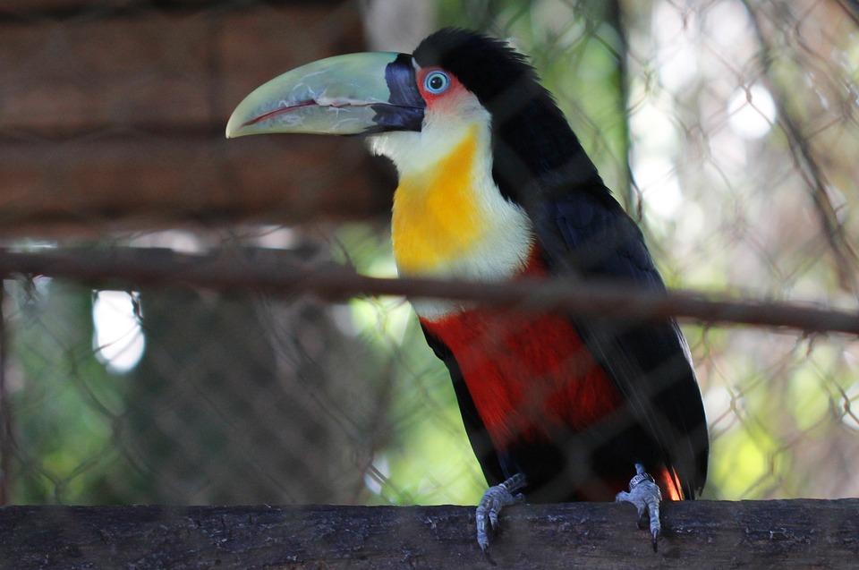 Tucano, Zoo, Nature, Bird