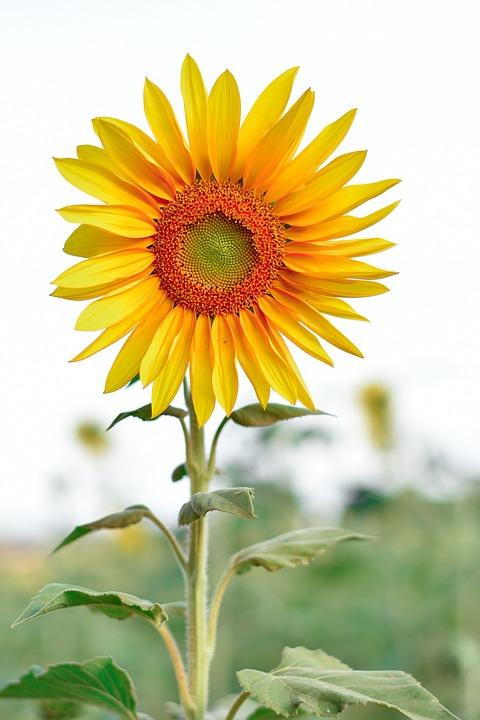 Girassol, Natureza, Flor