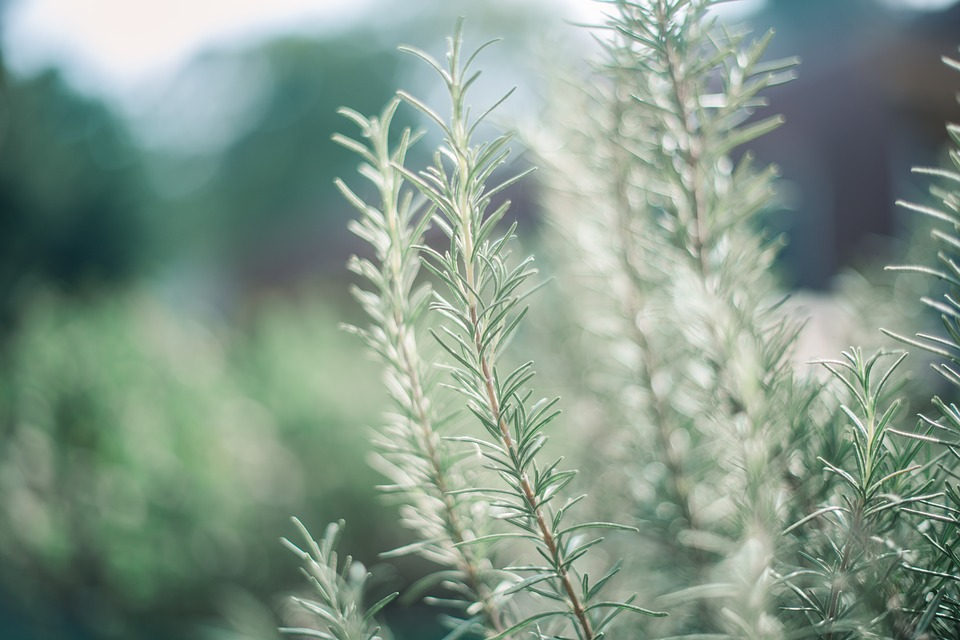 Rosemary, Garden, Green, Light, Color, Beauty, Natyre