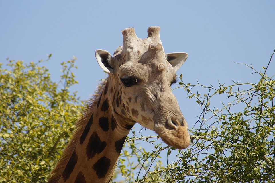 Giraffe, Head, Neck, Male, Animal, Wild, Nature, Fauna