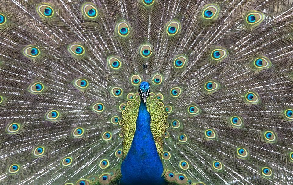 Peacock, Feather, Bird, Ritual, Dance, Neck, Pride