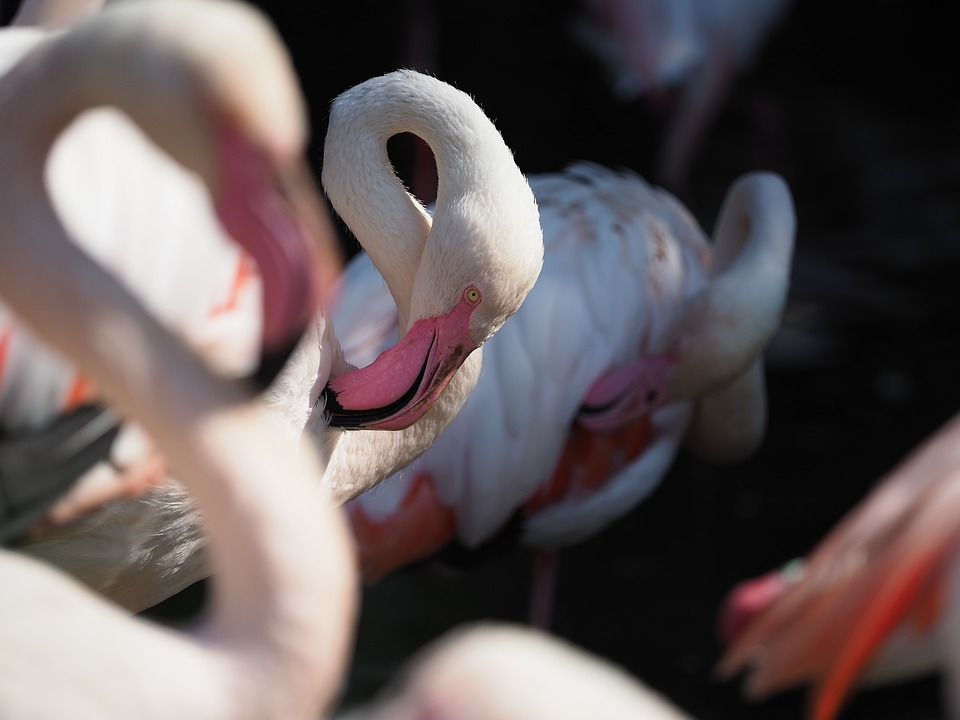 Bird, Flamingo, Whites, Beak, Eye, Neck, Animal