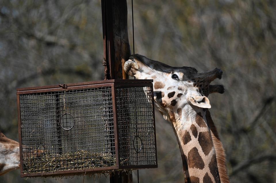 Giraffe, Zoo, Mammal, Neck, Animal, Ossciones