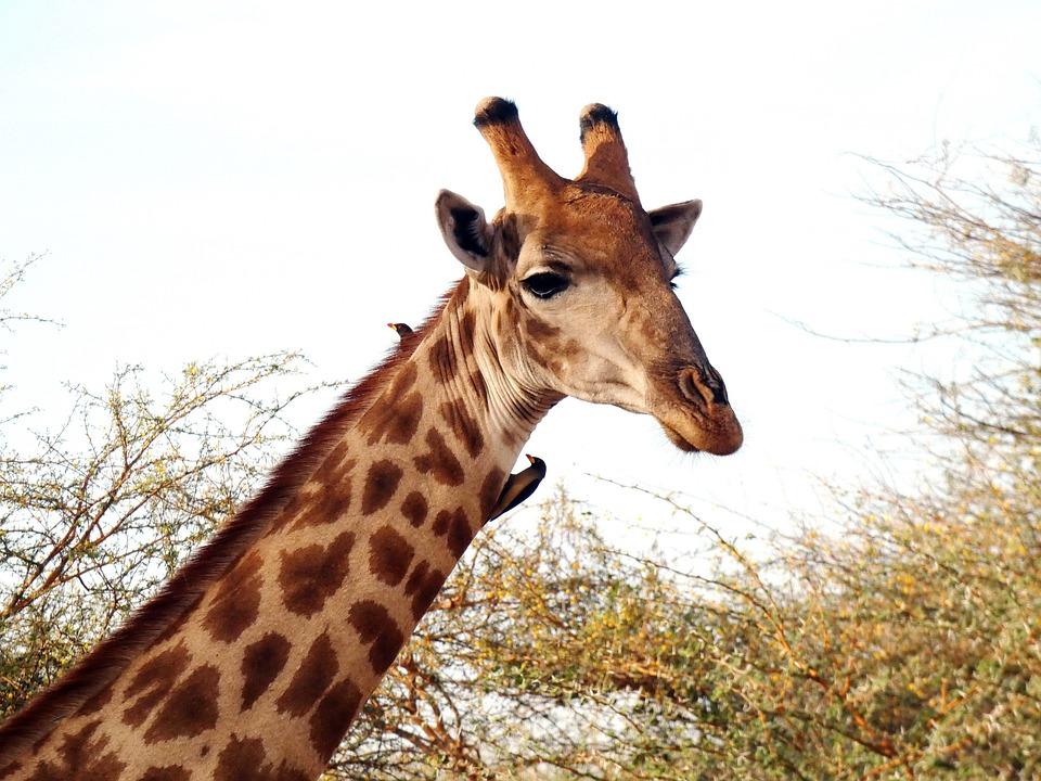 Giraffe, Giraffa Camelopardalis, Ungulate, Neck, Size