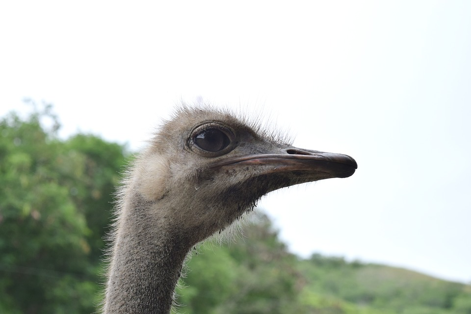 Ostrich, Ave, Feathers, Neck, Peak, Eyes, Fast, Wings