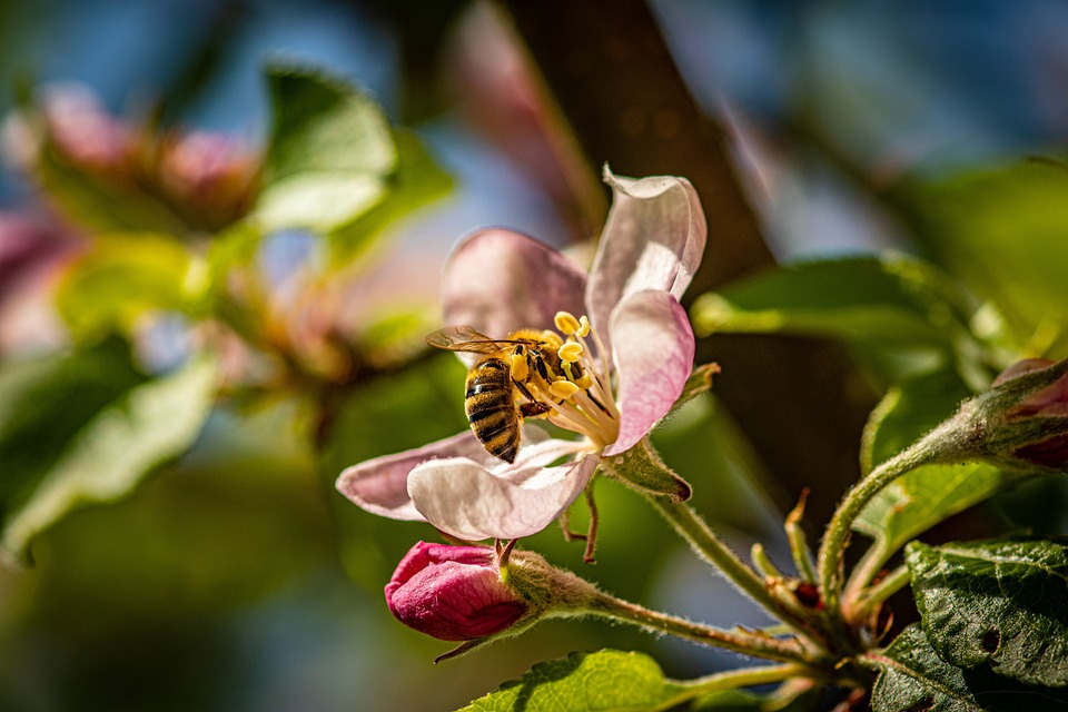 Apple Blossom, Flower, Bee, Insect, Honey Bee, Nectar