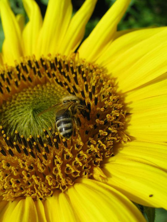 Sun Flower, Bee, Yellow, Nectar, Insect, Busy Bee